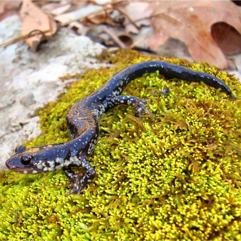 Kleverige salamander