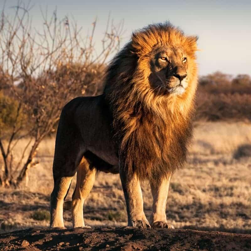 Spreekbeurt Leeuw