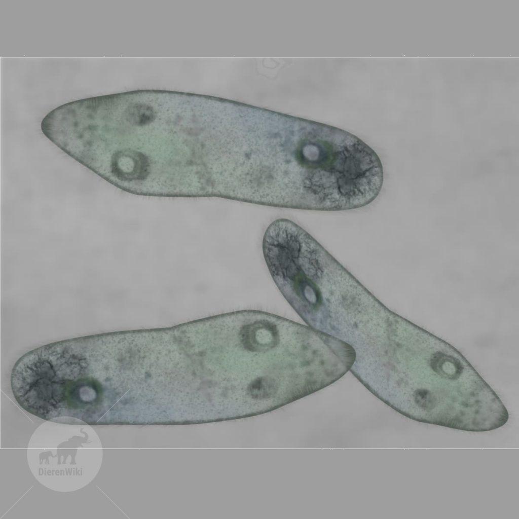 Eencelligen