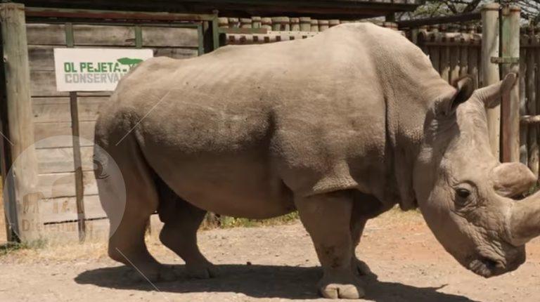 Sudan witte neushoorn