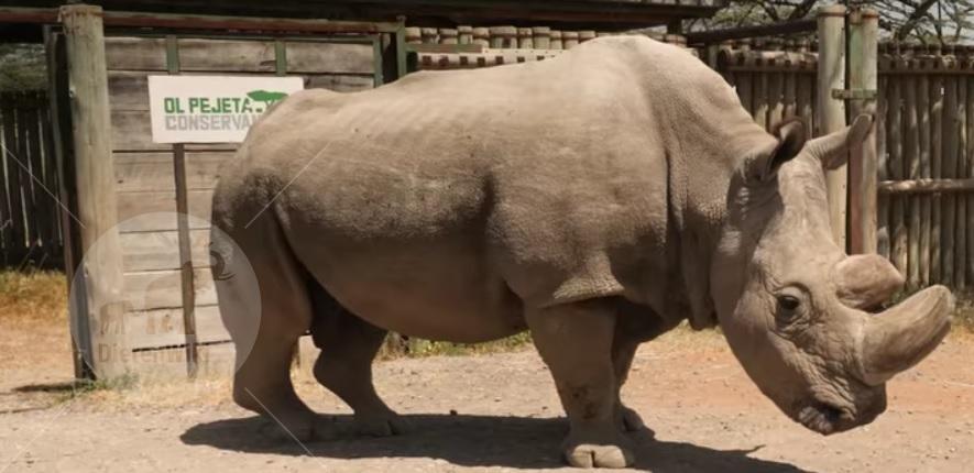 Sudan, neushoorn overleden