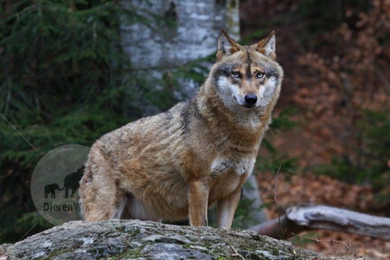 Zeldzame wolf waargenomen in België