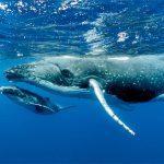 Bultrug walvissen