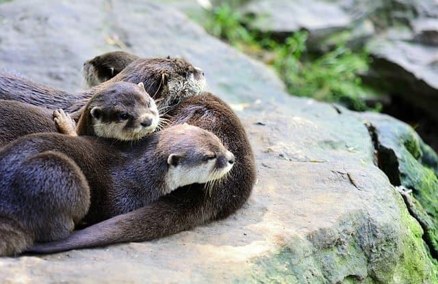 Jonge otter gespot met plastic om zijn nek