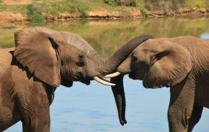 Hoe communiceren olifanten