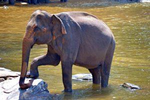 Hoe hou je een Afrikaanse en Aziatische olifant uit elkaar-min