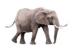 Hoe ziet een olifant eruit