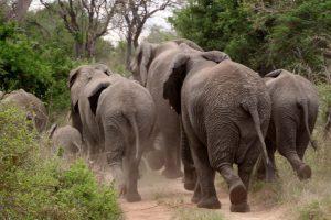 Hoeveel kilometer loopt een olifant per dag