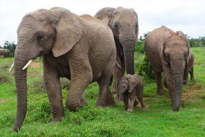 Hoeveel weegt een olifant