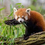 Uit onderzoek blijkt er zijn twee soorten rode panda's