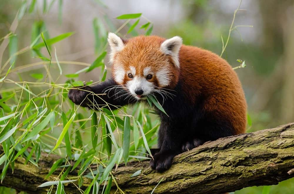 Uit onderzoek blijkt er zijn twee soorten rode panda's!