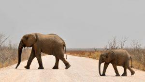Waarom jagen mensen op olifanten