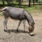 Zeldzame zezel geboren in Kenia