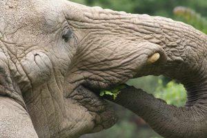wat eet een olifant