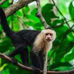 kapucijnapen en doodshoofdaapjes Cebidae