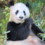 Babypanda geboren in Nederland!
