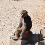 Bavianen aapje