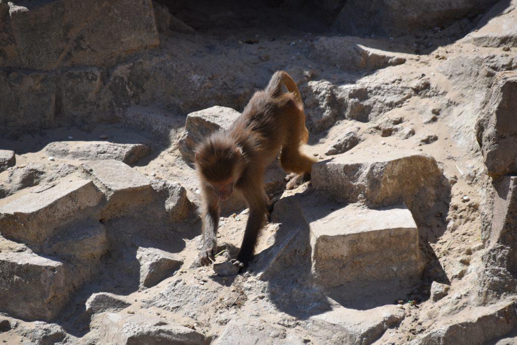 Bavianen dierentuin