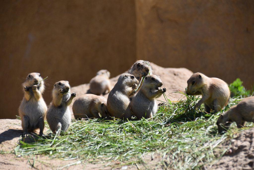 Prairiehonden dierentuin