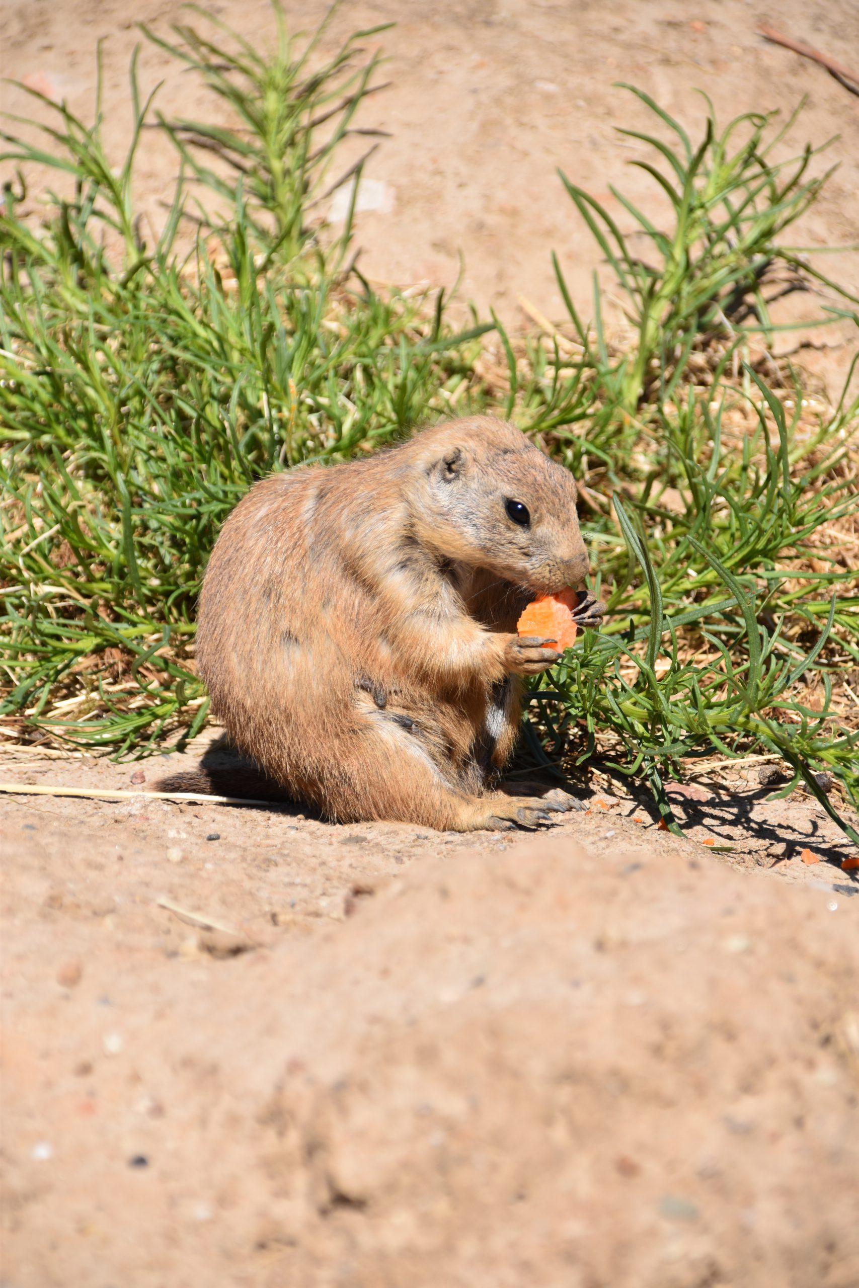 Prairiehonden eten