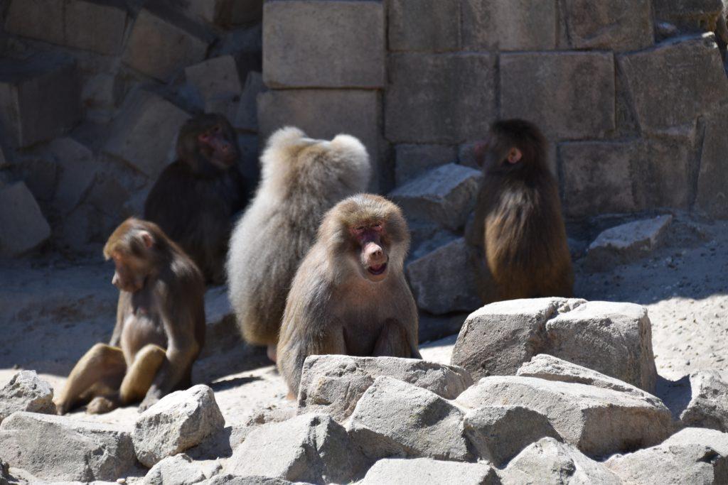 Bavianen groep