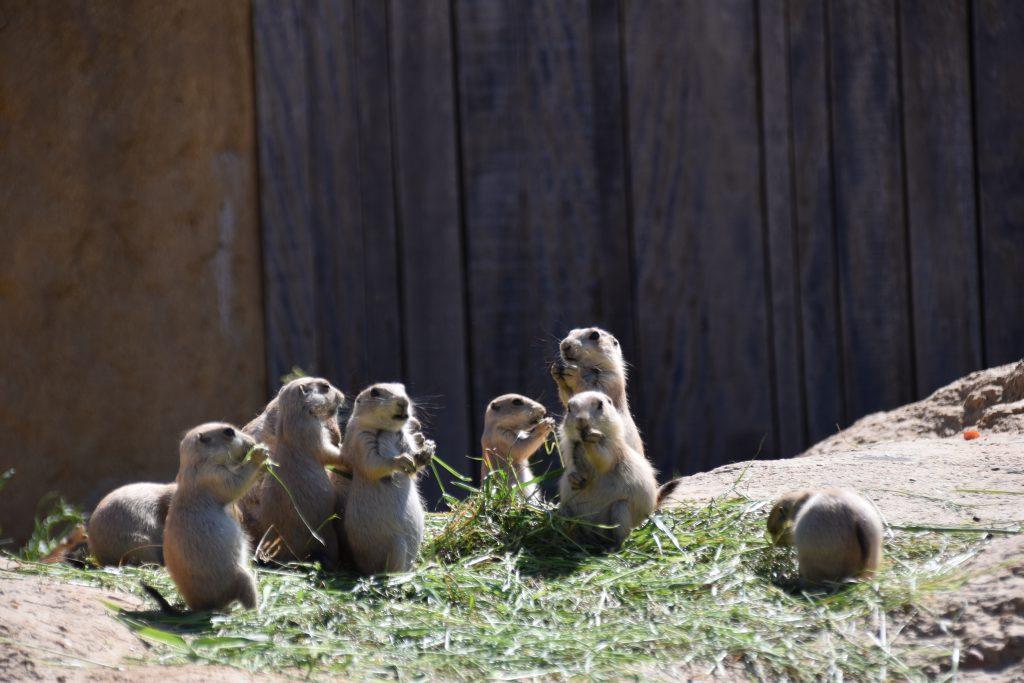 Prairiehonden groep