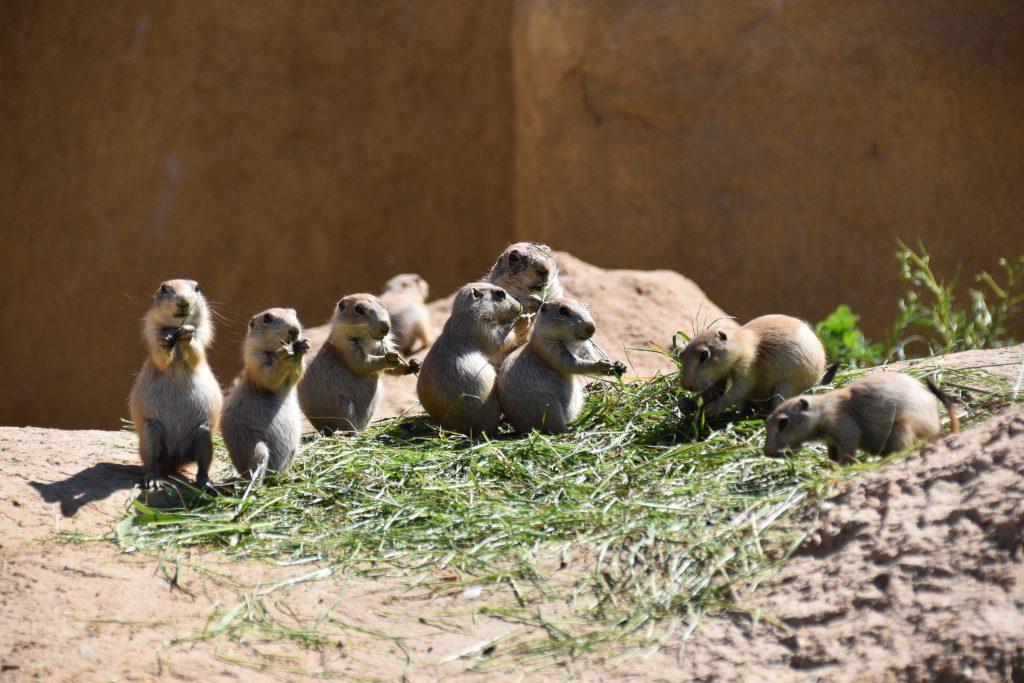Prairiehonden knaagdier