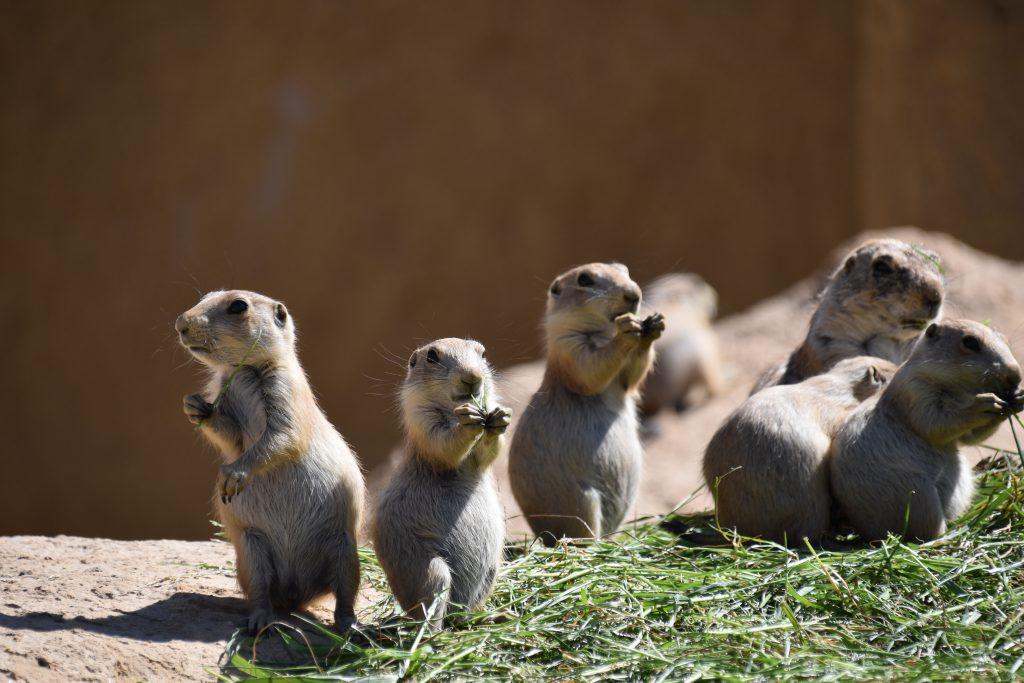 Prairiehonden knaagdieren