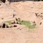 Prairiehonden leefgebied