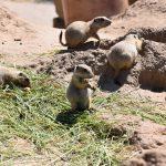 Prairiehonden lengte