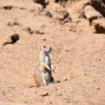 Prairiehonden luisteren
