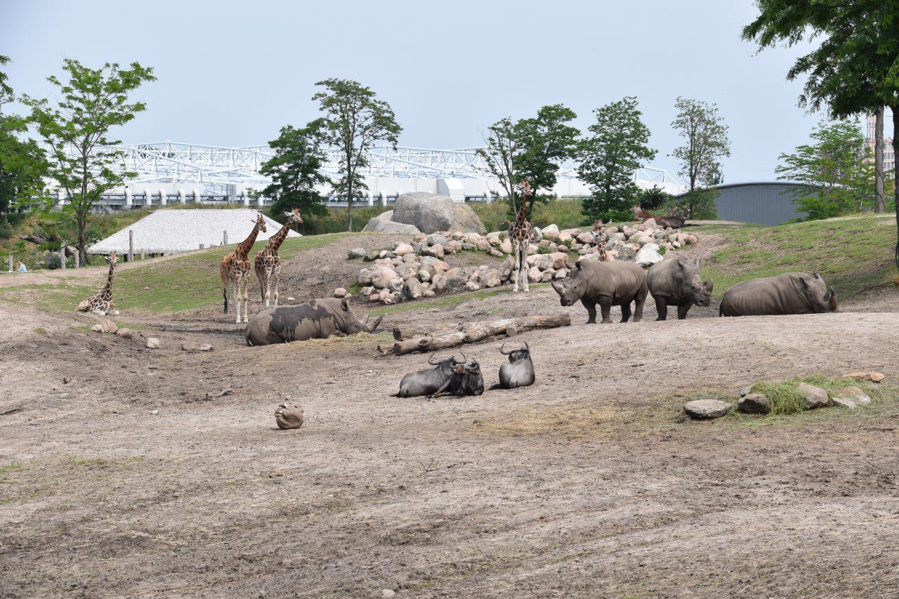 Neushoorn zoogdieren