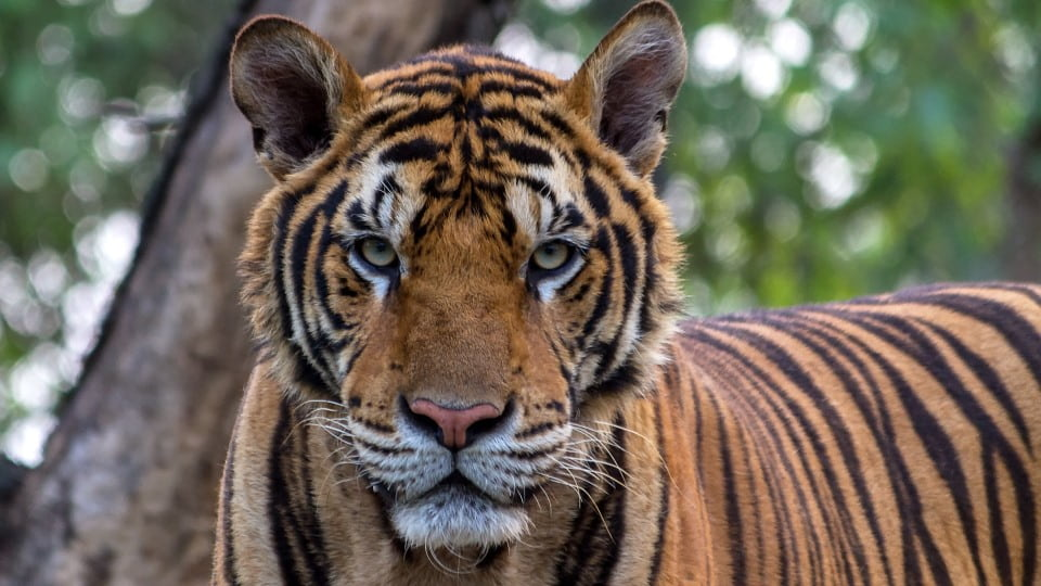 unieke waarneming zeldzame tijgers