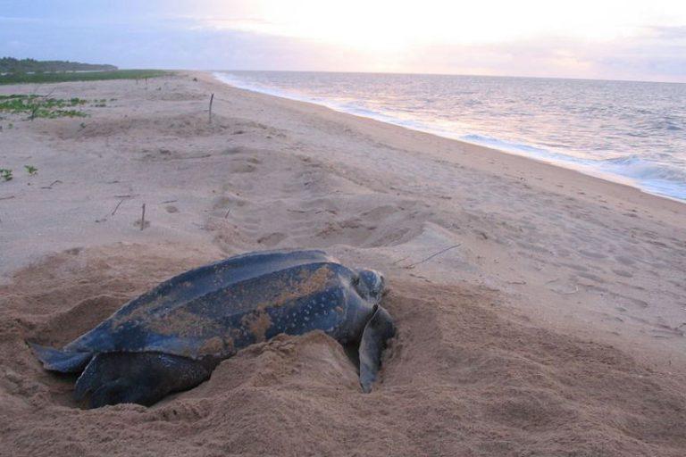 Lederschildpad in de Oosterschelde