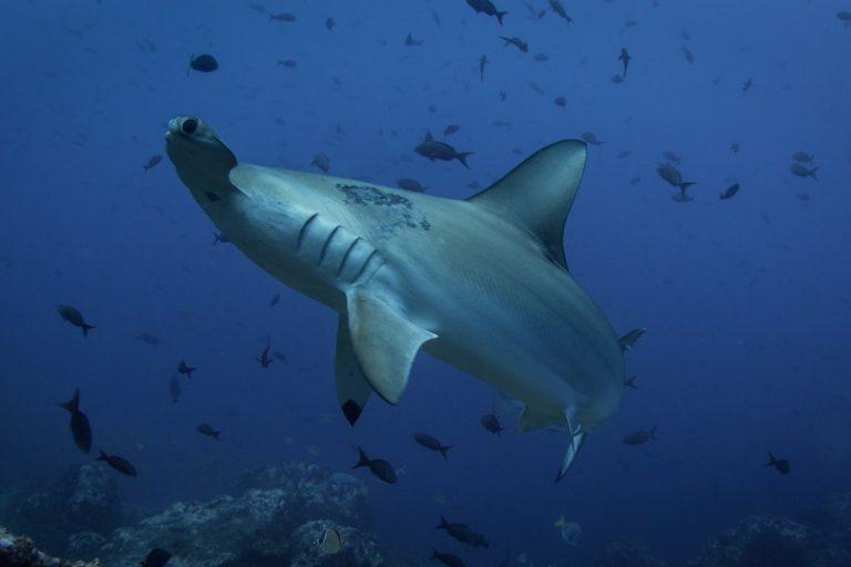 Haaien bedreigd door overbevissing