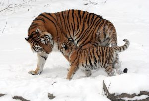 Hoe plant een tijger zich voort