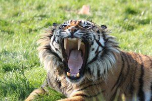 Hoe ziet een tijger er uit