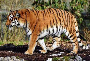 Hoe zwaar wordt een tijger