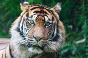 Waarom heeft een tijger strepen