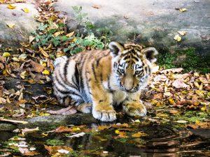 Waarom jagen mensen op tijgers