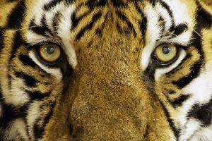 Wat eten tijgers