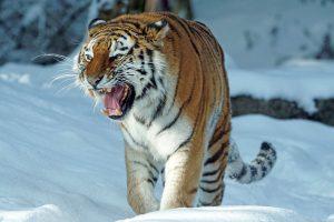 Welke soorten tijgers zijn er