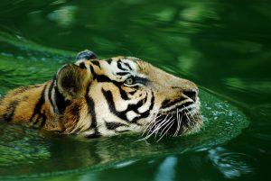 Wie waren de voorouders van tijgers
