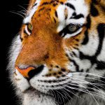 Spreekbeurt tijger