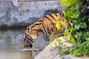 Zijn tijgers sociale dieren
