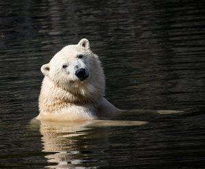 Heeft een ijsbeer goede ogen