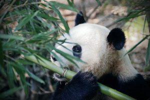 Heeft een panda vijanden