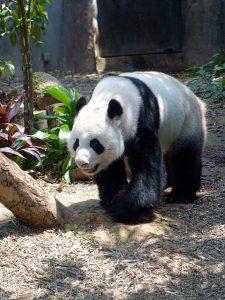 Hoe beweegt een panda