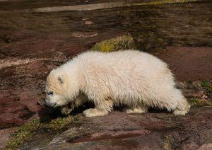 Hoe planten ijsberen zich voort