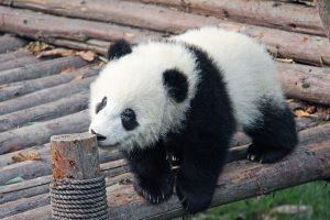 Hoe planten pandas zich voort